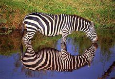 (via 500px / Thirsty zebra by Sabry Mason)
