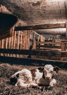Entstanden als eine Art  Zufallsprodukt, liegt ihr Ursprung in den Ställen der Bauern.  Verwundert, warum sich Eichenbalken und -bohlen dort so rasch und dunkel  verfärbten, wurde nach der Ursache geforscht und diese schließlich  gefunden: Der Urin der Pferde und die Ausgasungen der Rinder enthalten  Ammoniak, der mit der Gerbsäure der Eiche reagiert. Ergebnis: dunkles, fast schwarzes Holz. #möbelmitcharakter #januamöbel #lustamechten #raucheiche Grand Canyon, Nature, Travel, Cattle, Farmers, Naturaleza, Viajes, Destinations, Grand Canyon National Park