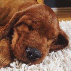 Irish setter puppy. That nose. Adorable puppy