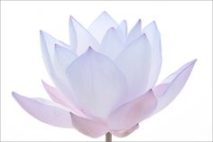 Blue Lotus Flower -IMG_0847-b | Flickr - Photo Sharing!
