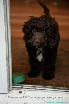 cute cockerpoo puppy wait melt heart