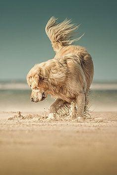 Golden Retriever on the beach