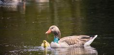 Goose with baby in The Veluwe National Park (The Netherlands)