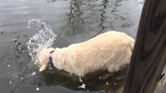 Extremely Intelligent Golden Retriever Uses Bread To Catch A Fish; 122215 Watch Rani Catch A Fish