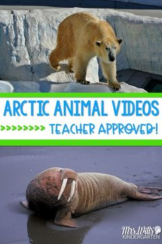 Classroom Friendly Videos Arctic Animals teacher approved great for your January units of study. Polar bears, penguins, and other animals in winter! Kindergarten and first-grade appropriate videos for your classroom. Wills Kindergarten First Grade Science, Kindergarten Science, Preschool Classroom, Preschool Winter, Elementary Science, New York Winter, Arctic Habitat, Artic Animals, Penguins And Polar Bears