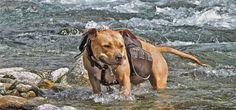:) American Staffordshire, Labrador Retriever, Terrier, Dogs, Animals, Labrador Retrievers, Animales, American Staffordshire Bull Terrier, Animaux