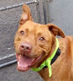 WHY HUMANS??? I WAS A WONDERFUL FRIEND!!! WHY DID YOU MURDER ME? MURDERED 8/1/16 THIS IS TOTALLY HEARTBREAKING Manhattan Center BENJI – A1081804 **SAFER: EXPERIENCED HOME** MALE, BROWN / WHITE, AM PIT BULL TER MIX, 3 yrs STRAY – EVALUATE, NO HOLD Reason STRAY Intake condition EXAM REQ Intake Date 07/18/2016, From NY 11365, DueOut Date 07/21/2016,