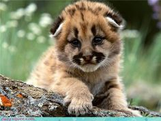 Mountain Lion Cub  You lost widdle guy? I'd stay and keep you company but I don't think your Mama would be too happy to find me with you.