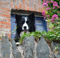 """""""Ssush...don't let anybody know about the Secret Garden Connie...""""Says Asha the border collie wanting to keep her find secret...."""