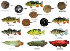 Freshwater Aquarium Fish, Aquarium Fish Tank, Pleco Fish, Stingray Fish, Cichlid Aquarium, Fish Mounts, Monster Fishing, All Fish, Water Animals