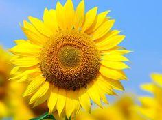 1番好きな花。いつでも太陽っていう明るい方を向いてるひまわりを見ると元気がでるから大好きです!