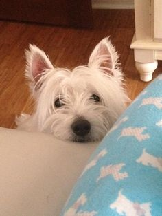 Westies - Twitter Photos Search