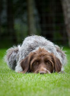 Greta A german wirehaired pointer dog from Missoula, Montana