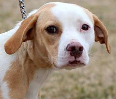 #FOUNDDOG AVAILABLE FOR ADOPTION 2-6-14 #ROANOKE #VA #BEAGLE MIX FEMALE  1 YEAR OLD 30 LBS 540-586-7690 FRIENDS OF THE BEDFORD CO ANIMAL SHELTER https://www.facebook.com/permalink.php?story_fbid=10201698421247694&id=410109432381675