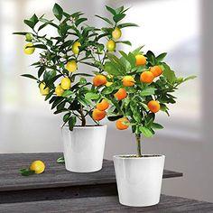 Combinaison Citronnier/Oranger x 2