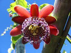 Resultado de imagem para fotos da flor de maracujá