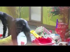 The Cle Elum Seven chimpanzees at Chimpanzee Sanctuary Northwest love parties! Christmas is a big celebration. Watch the video to see the excitement they shared with their caregivers.
