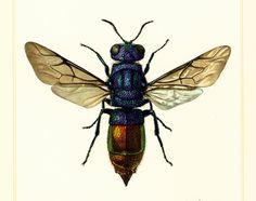1960 Chrysis. Hyménoptères. Guêpe coucou. Illustration Insecte. Planche Originale Entomologie. de la boutique sofrenchvintage sur Etsy