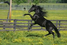 Black Beauty Horse Games Horse Wallpaper Wallpaper Desktop Live Wallpapers Animals Beautiful