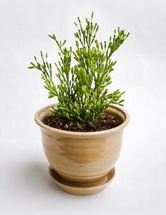 Hatiora Salicornioides Drunkard S Dream Growing Plantsindoor