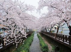 Jinhae Cherry Blossom Festival, Korea Cherry blossom festival in Kyeong-Wha Station, Jinhae. Cherry Blossom Japan, Cherry Blossom Season, Cherry Blossoms, Cherry Flower, Cherry Tree, A Far Off Place, Flower Festival, Romantic Scenes, Blossom Trees