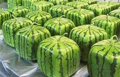 In Japan they have square watermelons.They get square watermelons by growing them inside of square glass cases. That way they can fit easily into a refrigerator, and you can stack things on them. Square watermelons are expensive though (10,000 yen or about $82). Compare that to regular round watermelons which cost about $15-20 in Japan.
