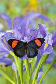 Tropical Butterfly, Batesia hypochlora, on Dutch Iris Phtography by:  Darrell Gulin