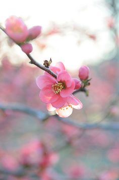 quince with evening glow | Flickr - Photo Sharing!