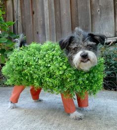 Chia Pet Dog Costume  .....had to pin it, too funny