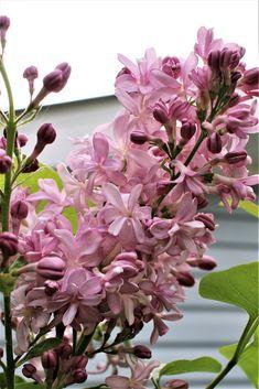 "My lilac ""Edward Gardner"" Plants, Lilac, Garden, Shrubs, Flowers"