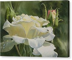 White Rose With Raindrops Canvas Print by Sharon Freeman