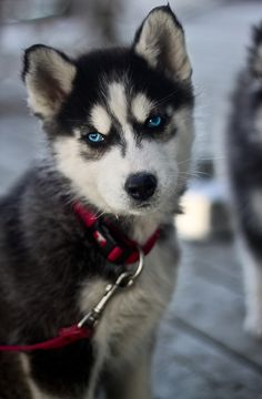 husky puppy - awwww!  (be careful - they grow up to be huge and are full of energy, needing a LOT of fresh air and exercise)