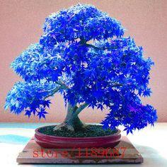 20 pz Viola blu Fantasma Giapponese Acero Albero, (Acer Palatum), bonsai semi di fiori, semi di albero, pianta in vaso per la casa e giardino