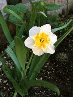 Daffodil bloom April 2013 in my San Diego backyard flower garden: www.gardenandbliss.com