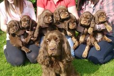 Our photo of the week: Thank you to Wispa Chambers for sending in this photo of Sussex Spaniels Wispa (Jessemyns Arun Victoria) with her family... Wispamours Twizzle Twirl, Bold As Buttons, Fabulous Fudge, Magic Mars, Sneaky Snickers, Tempting Topic and Flutter Flake.
