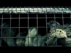 UK, Europe & beyond: Suffering of captive quail in factory farms |  Compassion in World Farming