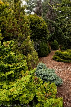 A fine grouping of conifers with deciduous trees in the background