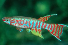Killifish, Relatives of Live Bearers but very Different