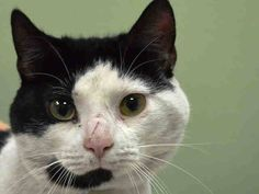 Adopted/rescued! TO BE DESTROYED 1/14/15 *NYC* Manhattan Center * Special plea! Meet Taneal!! This handsome oreo cookie is looking for a loving forever home. He is a bit nervous in the center and would do best in an experienced home without children. Taneal is a nice boy that just needs a little time to open up and feel comfortable. Please pull Taneal today!! *  My name is TANEAL. My Animal ID # is A1024708. I am a male white and black dom mh mix. I am about 5. STRAY on 01/04/2015 from NY…