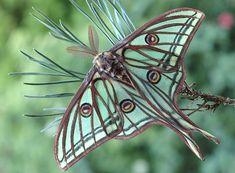 Natural Art Nouveau, The Spanish Moon Moth, Graellsia Isabellae