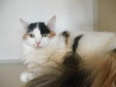 Gizmo is an adoptable Domestic Long Hair Cat in Waterford, CT.  ...
