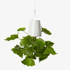 Defying gravity, these unique upside-down planters bring abundant greenery at home and at work, without sacrificing floor space. A locking disc holds the soil and plant in place, and an innovative reservoir system that both conserves water and your personal time gradually hydrates a plant's roots. No longer will your plants be relegated to a corner. Think of them as chandeliers, only more beautiful!