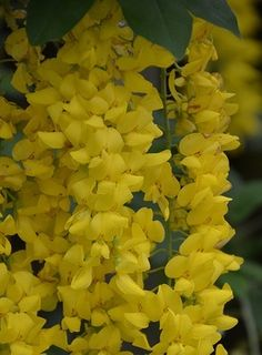 5 Yellow Wisteria Seeds
