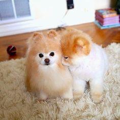 boo et buddy deux chiens mignons peluches vivantes 20   Boo et Buddy   web star spitz pomeranien photo peluche nain loulou de Pomeranie imag...