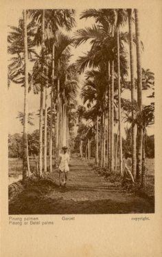 Pinang or Betet Palms - Garoet circa 1900.