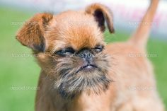 Brussels griffon. Seriously cute.