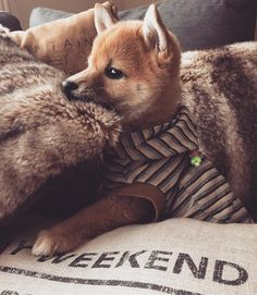Shiba Puppy, Akita Dog, Cute Dogs Breeds, Dog Breeds, Cute Animal Pictures, Cute Baby Animals, Dog Life, I Love Dogs, Pet Birds