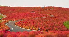 Parque de Flores, o Hitachi Seaside Park, no Japão - Pesquisa Google