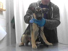 #TEXAS #URGENT ~  ID A395766 is a German Shepherd Dog GSD #puppy in need of a…