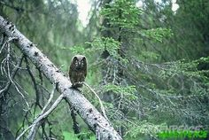 Tengmalm owl in the last old growth forests of Finland.